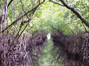 mangrove swamp like one where Lacey finds Armand